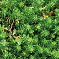 Sedum - Immergrüne Überlebenskünstler